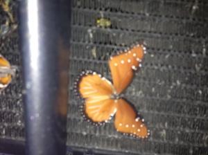 Poor mariposa