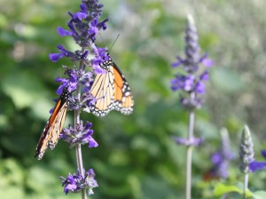 Monarchs on Salvia