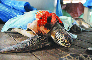 Padre Island: Where Snow Birds come to Warm Up and Sea Turtles get Stunned?