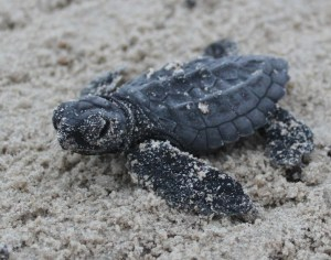 A Kemps Ridley Sea Turtle Hatchling makes his was to sea.